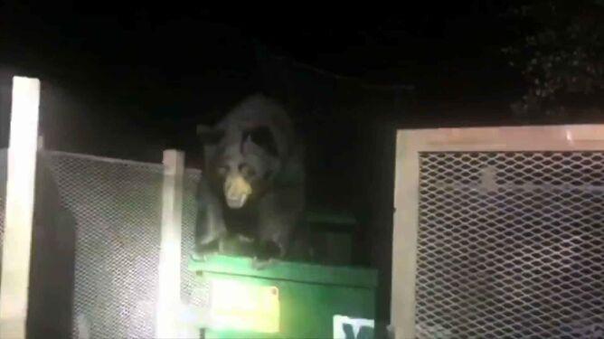 Na ratunek niedźwiedziowi. Nie mógł wyjść ze śmietnika