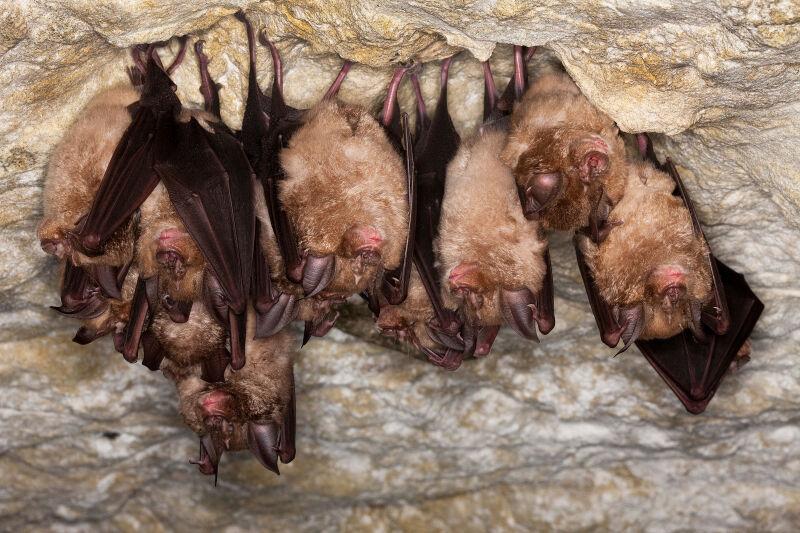 Nietoperze z rodziny podkowcowatych (Shutterstock)