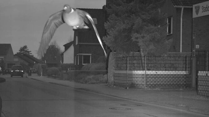 """Gołąb przekroczył prędkość i złapał go fotoradar. """"Kwestia mandatu pozostaje otwarta"""""""