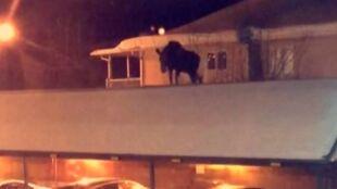 """Łoś wszedł na dach. """"Nie mam pojęcia, jak się tam dostał"""""""