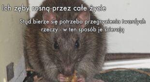 Szczury zniszczyły pieniądze w bankomacie